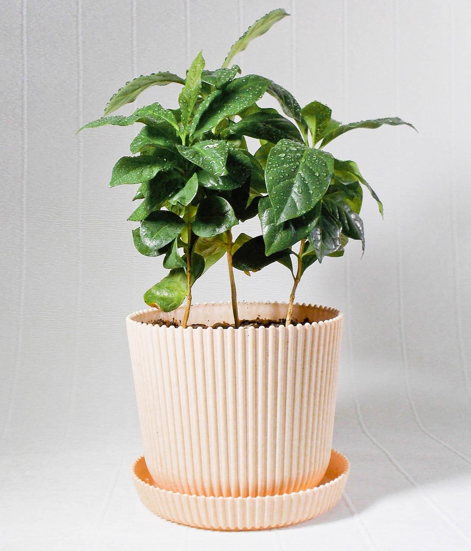 Кофейного дерева посадка в домашних условиях